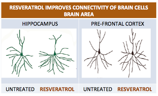 resveratrol-brain-cell-connectivity
